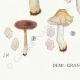 DETAILS 07 | Mycology - Mushroom - Entoloma - Batchianum Pl.77