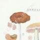 DÉTAILS 01 | Mycologie - Champignon - Entoloma - Nidorosum Pl.78