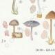 DÉTAILS 03 | Mycologie - Champignon - Clitopilus - Leptonia Pl.79