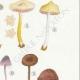 DÉTAILS 05 | Mycologie - Champignon - Clitopilus - Leptonia Pl.79