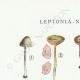 DETAILS 01 | Mycology - Mushroom - Leptonia - Nolanea Pl.80