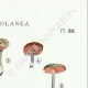 DETAILS 04 | Mycology - Mushroom - Leptonia - Nolanea Pl.80