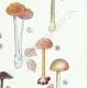 DETAILS 05 | Mycology - Mushroom - Leptonia - Nolanea Pl.80