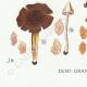 DETAILS 07 | Mycology - Mushroom - Leptonia - Nolanea Pl.80