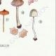 DETAILS 08 | Mycology - Mushroom - Leptonia - Nolanea Pl.80