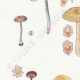 DETAILS 02   Mycology - Mushroom - Eccilia - Claudopus Pl.82