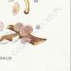 DETAILS 08   Mycology - Mushroom - Eccilia - Claudopus Pl.82