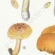 DETAILS 02 | Mycology - Mushroom - Pholiota - Caperata Pers Pl.83