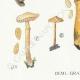 DETAILS 03 | Mycology - Mushroom - Pholiota - Caperata Pers Pl.83