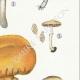 DETAILS 05 | Mycology - Mushroom - Pholiota - Caperata Pers Pl.83