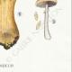 DETAILS 06 | Mycology - Mushroom - Pholiota - Caperata Pers Pl.83