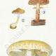 DETAILS 02 | Mycology - Mushroom - Pholiota - Mutabilis PL.84