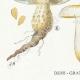 DETAILS 03 | Mycology - Mushroom - Pholiota - Mutabilis PL.84