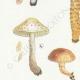 DÉTAILS 02 | Mycologie - Champignon - Pholiota Pl.87