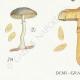 DÉTAILS 03 | Mycologie - Champignon - Pholiota Pl.87