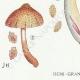 DETAILS 03   Mycology - Mushroom - Inocybe - Asterospora Q Pl.89