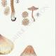 DETAILS 05   Mycology - Mushroom - Inocybe - Asterospora Q Pl.89