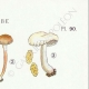 DÉTAILS 04 | Mycologie - Champignon - Inocybe - Petiginosa Pl.90