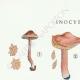 DETAILS 01 | Mycology - Mushroom - Inocybe - Trinii Weinm Pl.91
