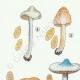 DETAILS 02 | Mycology - Mushroom - Inocybe - Trinii Weinm Pl.91