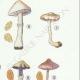 DETAILS 05 | Mycology - Mushroom - Inocybe - Trinii Weinm Pl.91