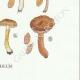 DETAILS 08 | Mycology - Mushroom - Inocybe - Trinii Weinm Pl.91