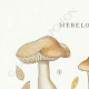 DETAILS 01 | Mycology - Mushroom - Hebeloma - Fastibile Pl.95