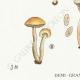 DÉTAILS 03 | Mycologie - Champignon - Hebeloma - Circinans Pl.97