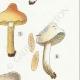 DÉTAILS 05 | Mycologie - Champignon - Hebeloma - Circinans Pl.97