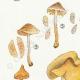 DÉTAILS 02 | Mycologie - Champignon - Naucoria - Semiorbicularis Pl.98