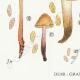 DÉTAILS 03 | Mycologie - Champignon - Naucoria - Semiorbicularis Pl.98