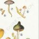 DÉTAILS 05 | Mycologie - Champignon - Naucoria - Semiorbicularis Pl.98