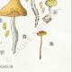 DÉTAILS 06 | Mycologie - Champignon - Naucoria - Semiorbicularis Pl.98