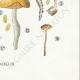DÉTAILS 08 | Mycologie - Champignon - Naucoria - Semiorbicularis Pl.98