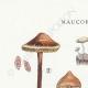 DETAILS 01 | Mycology - Mushroom - Naucoria - Pusiola Pl.99