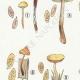 DETAILS 02 | Mycology - Mushroom - Naucoria - Pusiola Pl.99