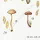 DETAILS 03 | Mycology - Mushroom - Naucoria - Pusiola Pl.99
