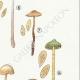DETAILS 05 | Mycology - Mushroom - Naucoria - Pusiola Pl.99