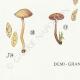 DETAILS 07 | Mycology - Mushroom - Naucoria - Pusiola Pl.99