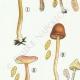 DÉTAILS 02   Mycologie - Champignon - Naucoria - Porriginosa Pl.100