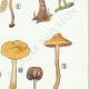 DÉTAILS 05   Mycologie - Champignon - Naucoria - Porriginosa Pl.100
