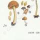 DÉTAILS 07   Mycologie - Champignon - Naucoria - Porriginosa Pl.100