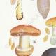 DÉTAILS 02 | Mycologie - Champignon - Cortinarius Pl.101