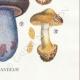 DÉTAILS 06 | Mycologie - Champignon - Cortinarius Pl.101