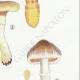 DETAILS 05 | Mycology - Mushroom - Cortinarius Pl.103