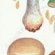 DÉTAILS 02   Mycologie - Champignon - Cortinarius Pl.104