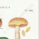 DÉTAILS 04   Mycologie - Champignon - Cortinarius Pl.104