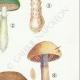 DÉTAILS 05   Mycologie - Champignon - Cortinarius Pl.104