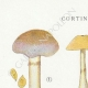 DETAILS 01   Mycology - Mushroom - Cortinarius Pl.105