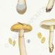 DETAILS 02   Mycology - Mushroom - Cortinarius Pl.105
